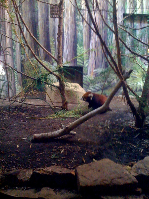 toby the red panda at the Houston Zoo